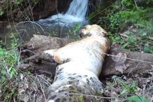 پلنگ کشته شده در انجو لردگان